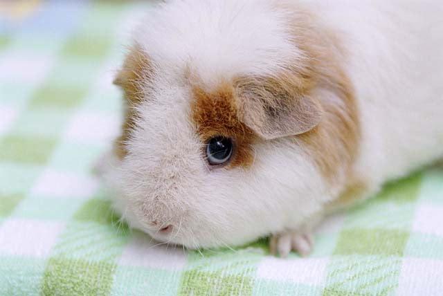 表情:豚鼠的卡通总是那么可爱,图片总是那么无a表情图片包好眼神表情图片图片