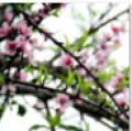 桃花依春风