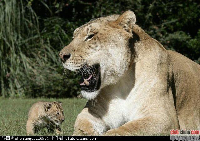 狮虎兽和虎狮兽谁大_图:世界最大巨型狮虎兽-珠海搜狐焦点