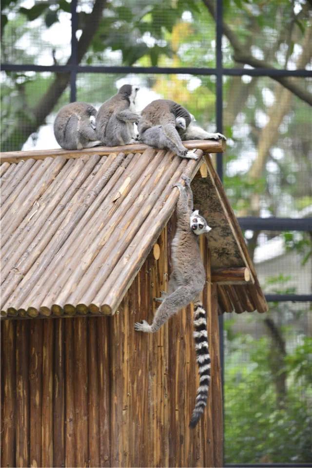 小可爱们来啦!环尾狐猴、小熊猫亮相紫马岭动物园,萌化了!