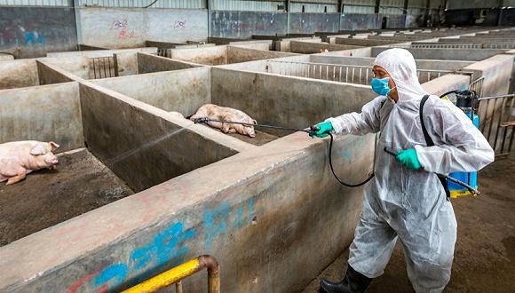 直通部委 农业农村部:未经批准不得采集非洲猪瘟病料 市监总局:完善疫苗管理体制