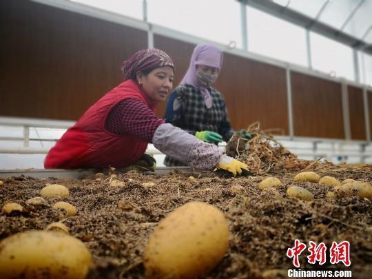 """甘肃定西十年连办马铃薯大会:小土豆""""蝶变""""大产业"""