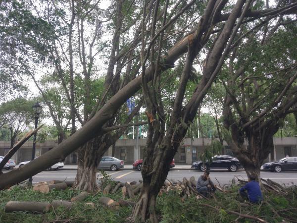 深观察|台风中这么多树倒了,不该问个为什么吗?