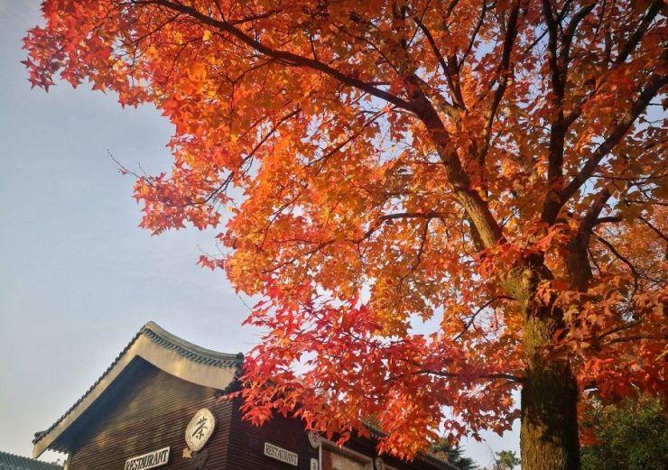 南京这10条路,撑起了整座城的最美秋色!